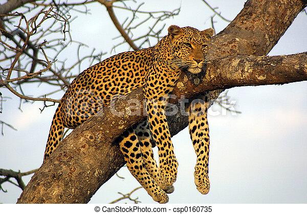Lazy Leopard - csp0160735