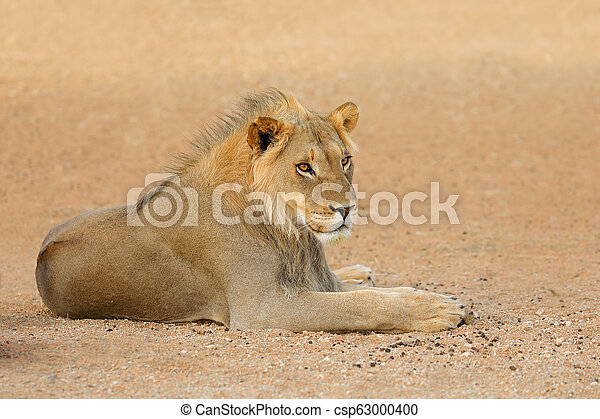 León africano - desierto kalahari - csp63000400