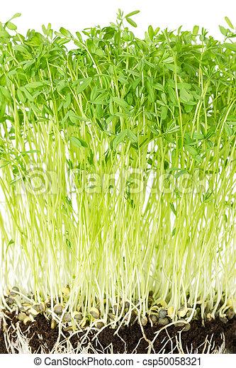 Le Puy green lentil seedlings front view - csp50058321