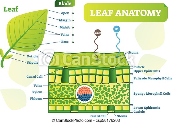 leaf anatomy vector illustration vector clipart_csp58176203 layers of a leaf diagram wiring block diagram