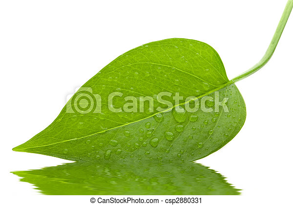 Leaf green and fresh isolation  - csp2880331