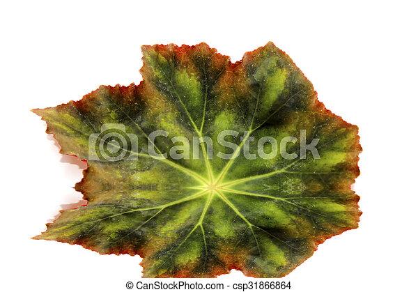leaf isolated on white background - csp31866864