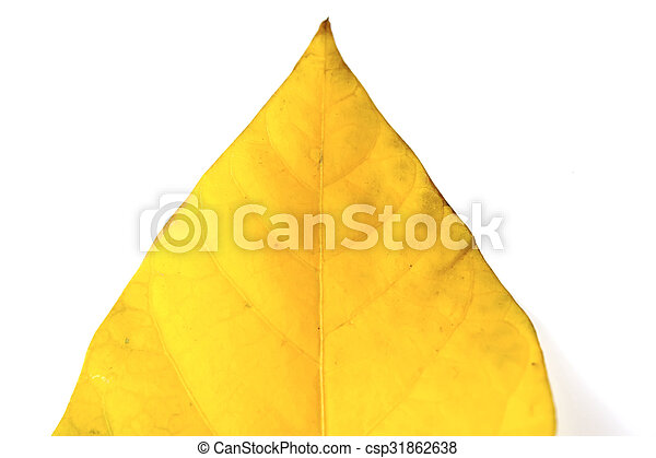 leaf isolated on white background - csp31862638