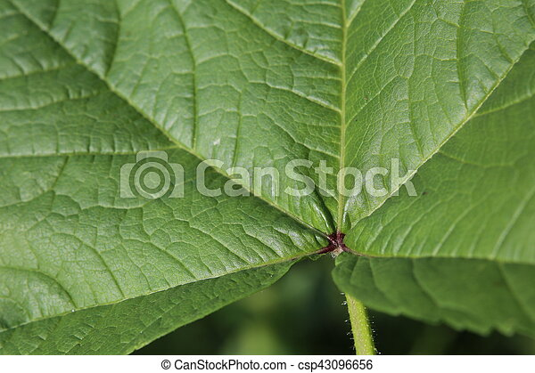 Leaf macro of Malva sylvestris, the common mallow - csp43096656