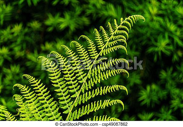 leaf of Fern on green blur background in the garden. - csp49087862