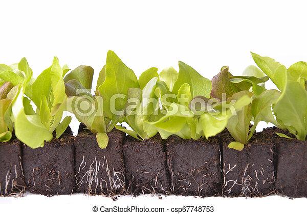 leaf of lettuce seedlings in dirt on white background - csp67748753