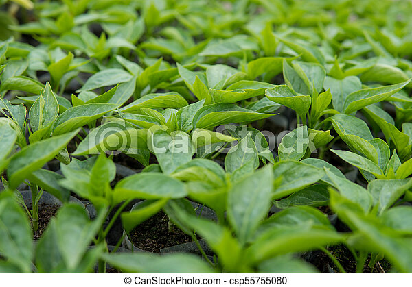 leafs of small pepper plant - csp55755080