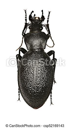 Leather Beetle on white Background - Carabus coriaceus (Linnaeus, 1758) - csp52169143