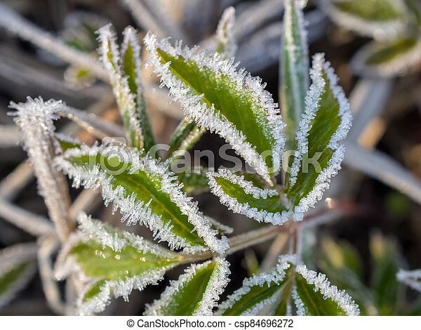 leaves in hoarfrost - csp84696272