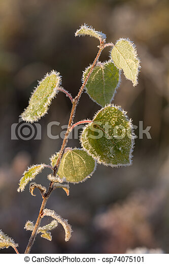 leaves in hoarfrost - csp74075101