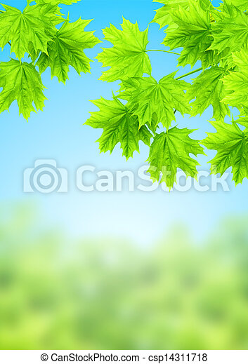 Leaves of a maple - csp14311718