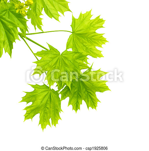 Leaves of a maple - csp1925806