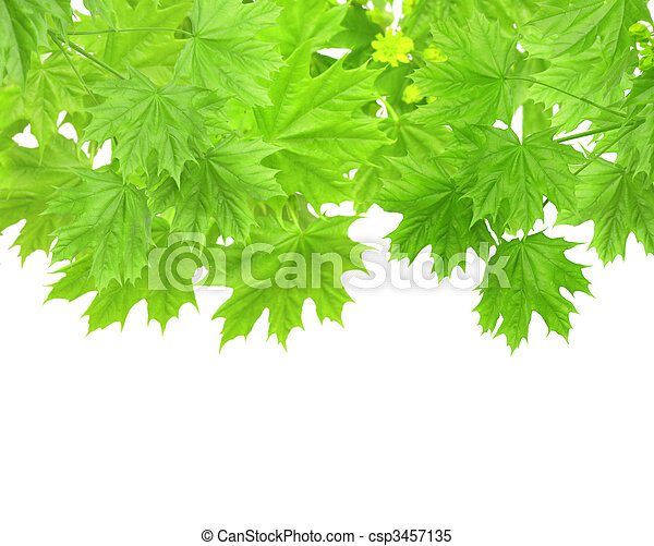 Leaves of a maple - csp3457135