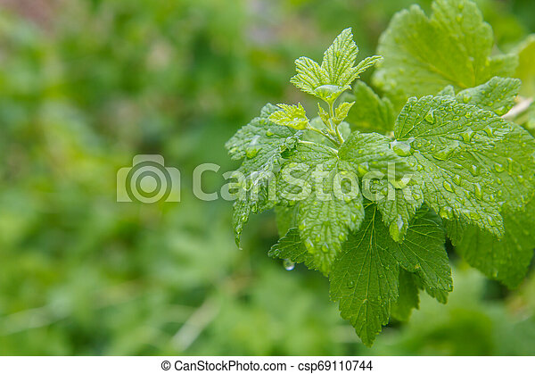 Leaves of currant bush with water drops in the garden. - csp69110744