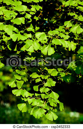 Leaves of Ginkgo biloba tree - csp3452333