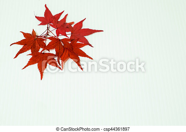 Leaves of Maple on white background - csp44361897