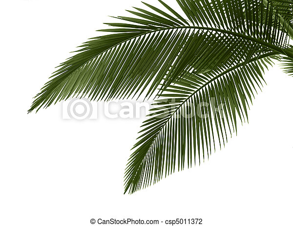 Leaves of palm on white background - csp5011372