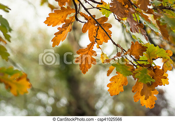 leaves of the oak tree in nature fall - csp41025566