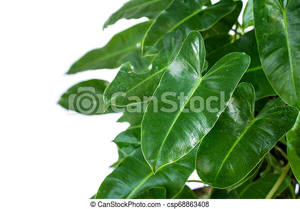 Leaves Of The Philodendron Are Unique White Texture With Isolated Background