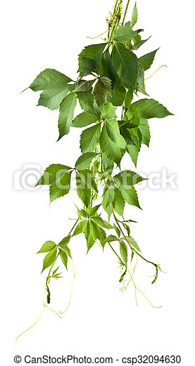 leaves of vine - csp32094630