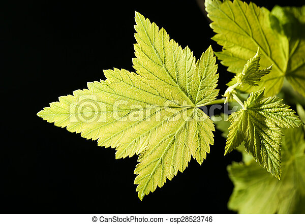 leaves on a black background. close - csp28523746
