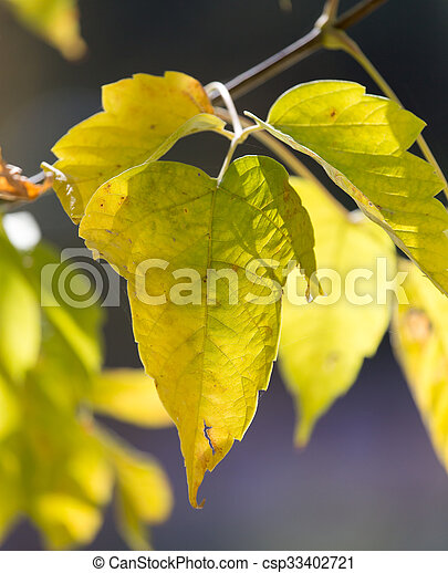 leaves on the tree in nature in autumn - csp33402721