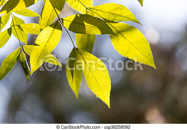 leaves on the tree in nature in autumn - csp36258092