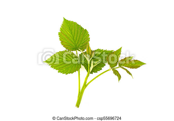 Leaves raspberry branch on a white background - csp55696724
