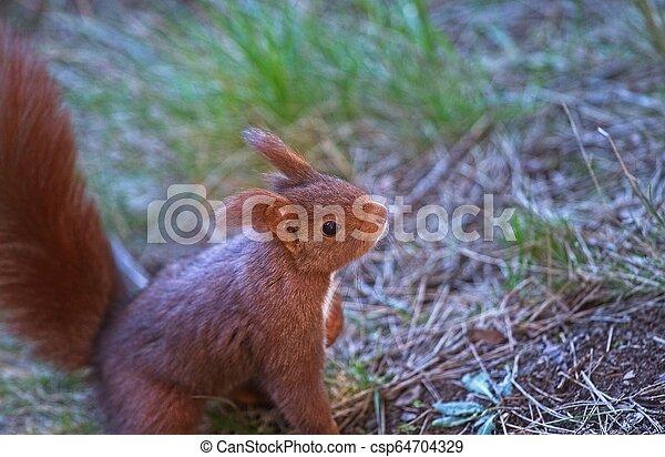 lebensmittel, schauen, wald, eichhörnchen, morgen - csp64704329
