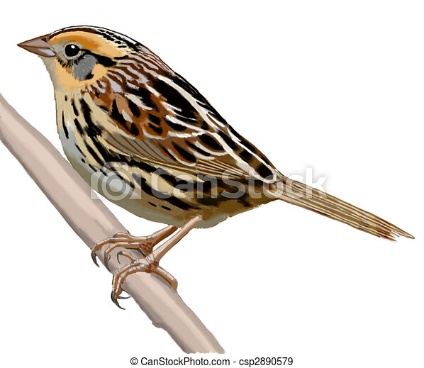 lecontes sparrow lecontes sparrow ammodramus leconteii rh canstockphoto com sparrow clipart black and white sparrow clipart outline