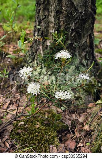 Planta de palustre floreciente - csp30365294