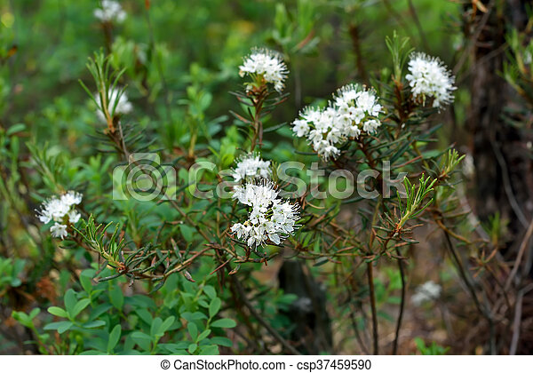 Planta Ledum Palustre - csp37459590