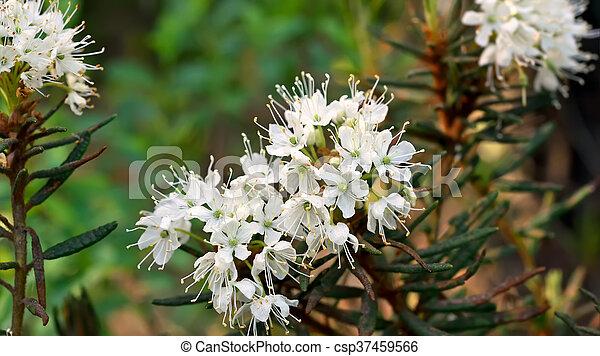 Planta Ledum Palustre - csp37459566