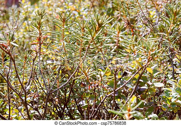 ledum, pantano, labrador, pantano, planta, ramas, grows - csp75786838
