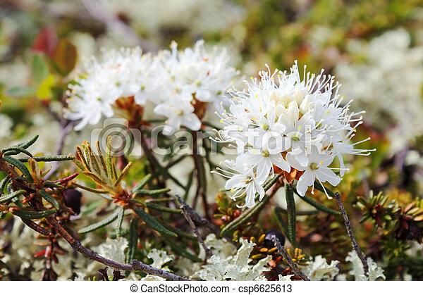 Rhododendron tomentosum (Syn). Ledum - csp6625613