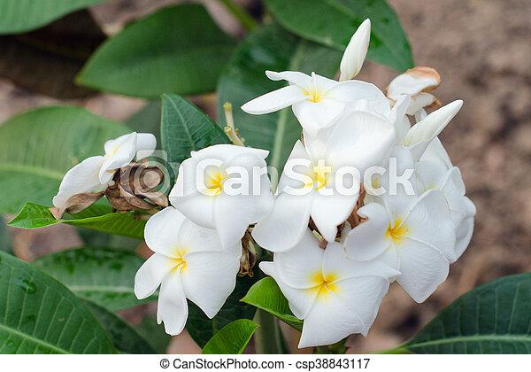 Nomi Fiori Bianchi.Leelavadee Oleander Other Albero Apocynaceae Frangipani