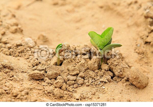 leguminous botany seedling in the field - csp15371281