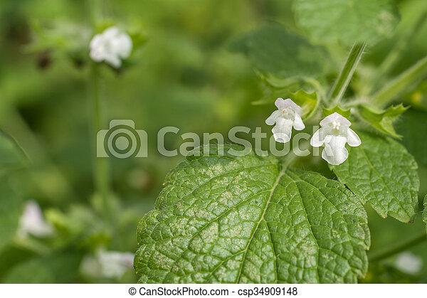 Lemon balm flower - csp34909148