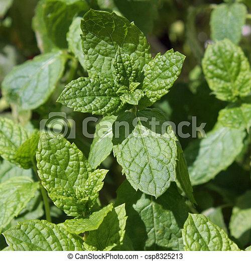 Lemon balm leafs in a close-up - csp8325213
