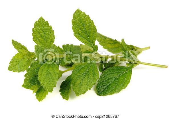 Lemon Balm (Melissa Officinalis) Isolated on White Background - csp21285767