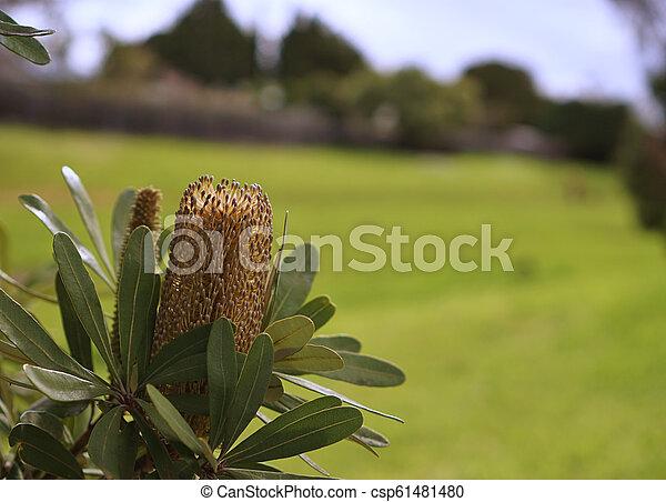Lemon Bottle-brush Flower - csp61481480