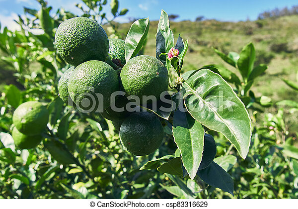 lemon plant with green lemons and leaves - csp83316629
