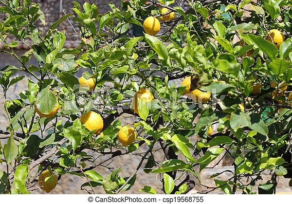 Lemons on tree - csp19568755