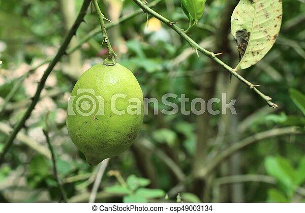 lemons tree - csp49003134