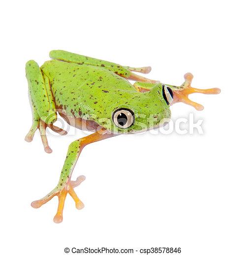 Lemur leaf frog on white background - csp38578846