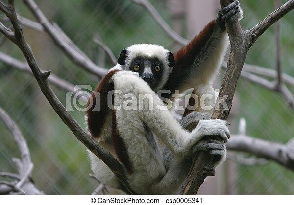Lemur - csp0005341