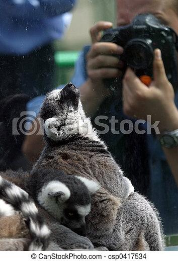 Lemur - csp0417534