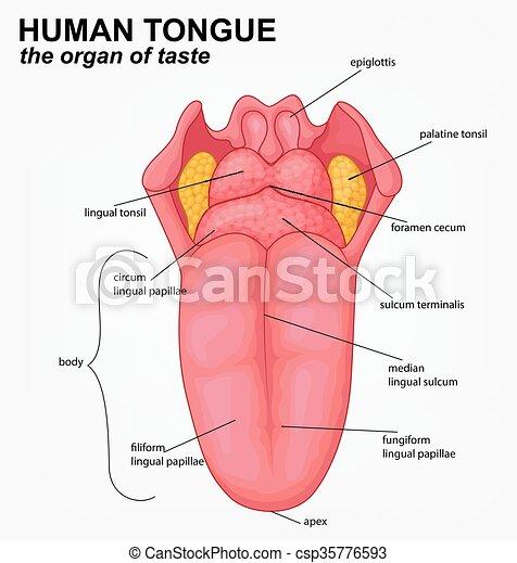 Lengua Humano Estructura Caricatura