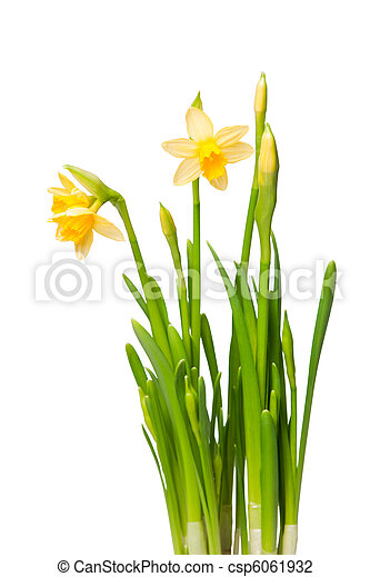 lent lily - csp6061932