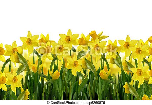 lentebloemen - csp6260876